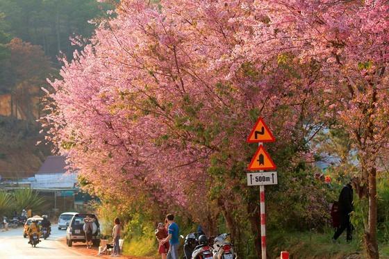 Wild himalayan cherry lures visitors to Da Lat city ảnh 3