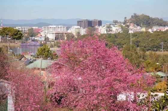 Wild himalayan cherry lures visitors to Da Lat city ảnh 5