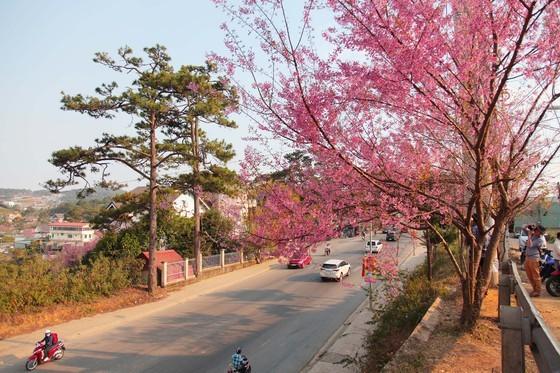 Wild himalayan cherry lures visitors to Da Lat city ảnh 6