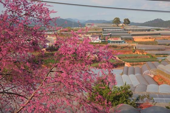 Wild himalayan cherry lures visitors to Da Lat city ảnh 7