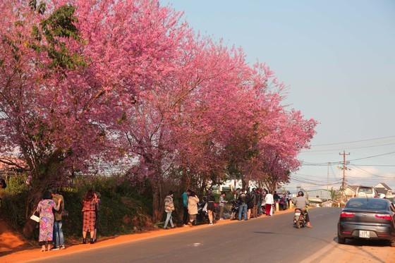 Wild himalayan cherry lures visitors to Da Lat city ảnh 1