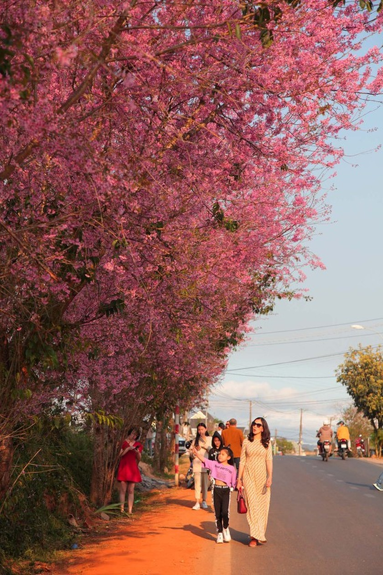 Wild himalayan cherry lures visitors to Da Lat city ảnh 9