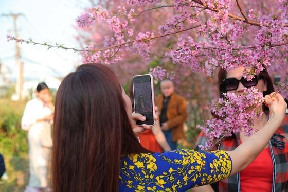 Wild himalayan cherry lures visitors to Da Lat city ảnh 10