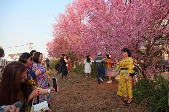 Wild himalayan cherry lures visitors to Da Lat city ảnh 11