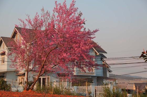 Wild himalayan cherry lures visitors to Da Lat city ảnh 13