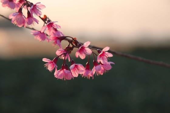 Wild himalayan cherry lures visitors to Da Lat city ảnh 14