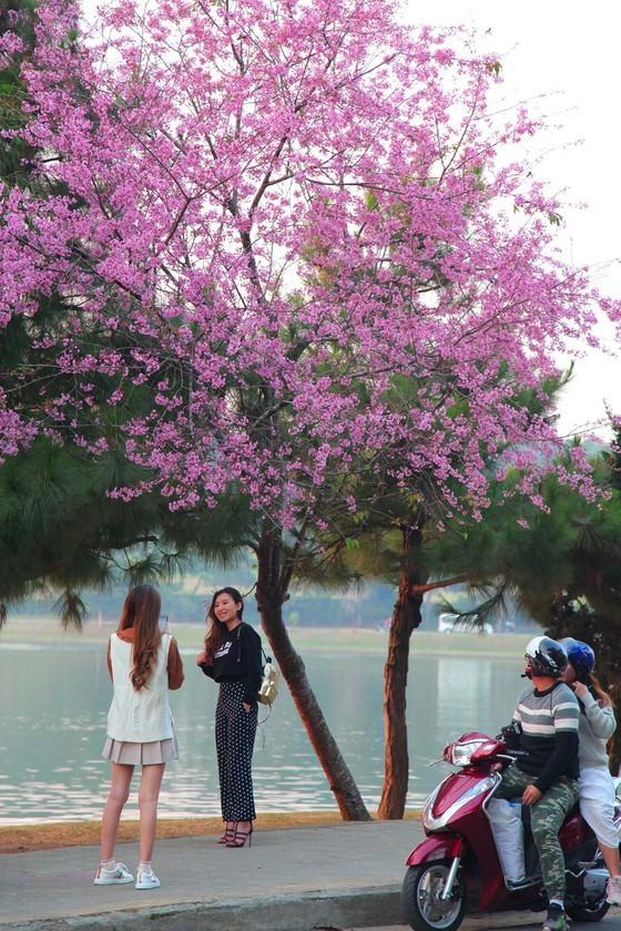 Wild himalayan cherry lures visitors to Da Lat city ảnh 16