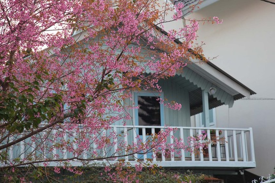 Wild himalayan cherry lures visitors to Da Lat city ảnh 17