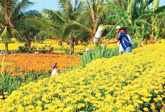 Flower growing areas enter Tet season ảnh 5