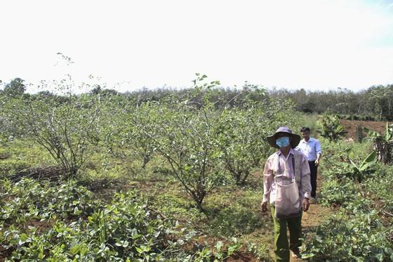 Quang Tri enjoys bumper black berry crop, good price ảnh 1
