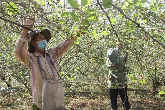 Quang Tri enjoys bumper black berry crop, good price ảnh 2