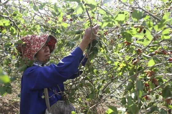 Quang Tri enjoys bumper black berry crop, good price ảnh 3