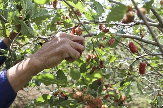 Quang Tri enjoys bumper black berry crop, good price ảnh 4