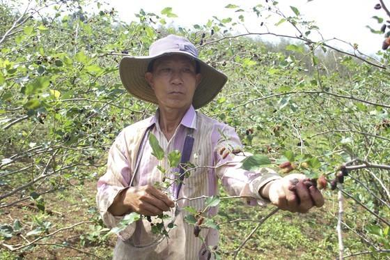 Quang Tri enjoys bumper black berry crop, good price ảnh 5
