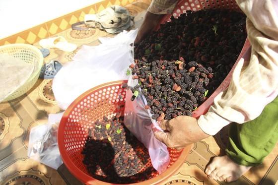 Quang Tri enjoys bumper black berry crop, good price ảnh 6