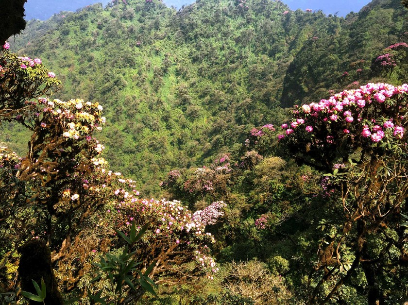 Brilliant blooming Rhododendron simsii in Fansipan  ảnh 3