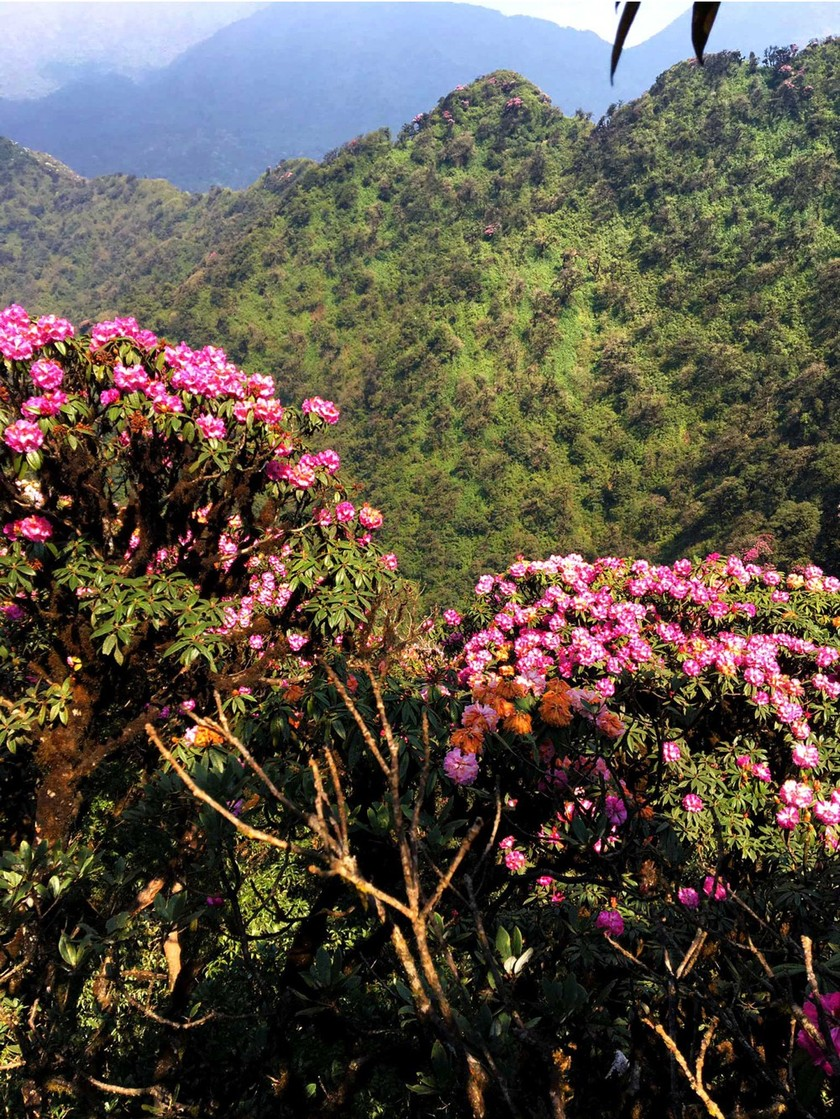 Brilliant blooming Rhododendron simsii in Fansipan  ảnh 4