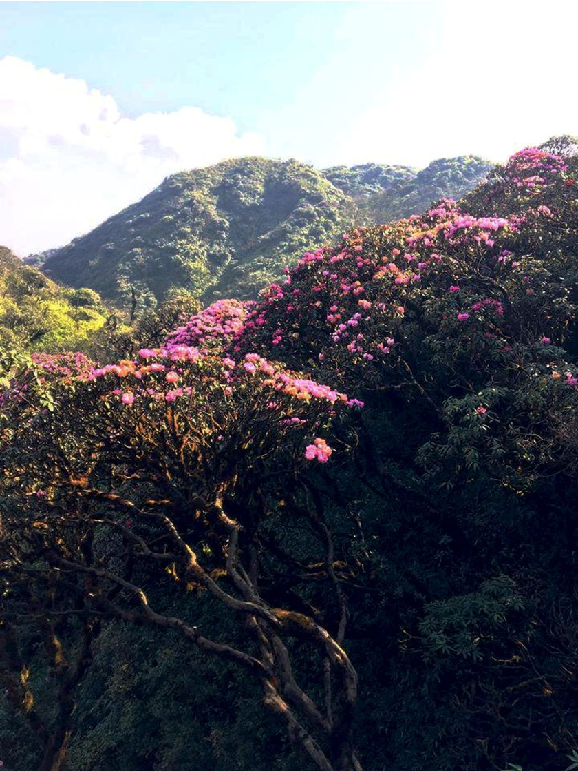 Brilliant blooming Rhododendron simsii in Fansipan  ảnh 5
