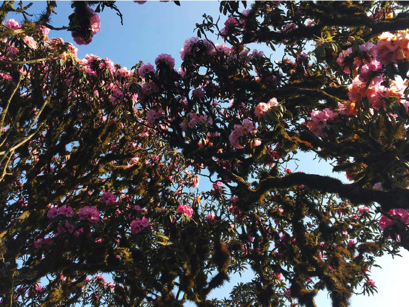Brilliant blooming Rhododendron simsii in Fansipan  ảnh 6