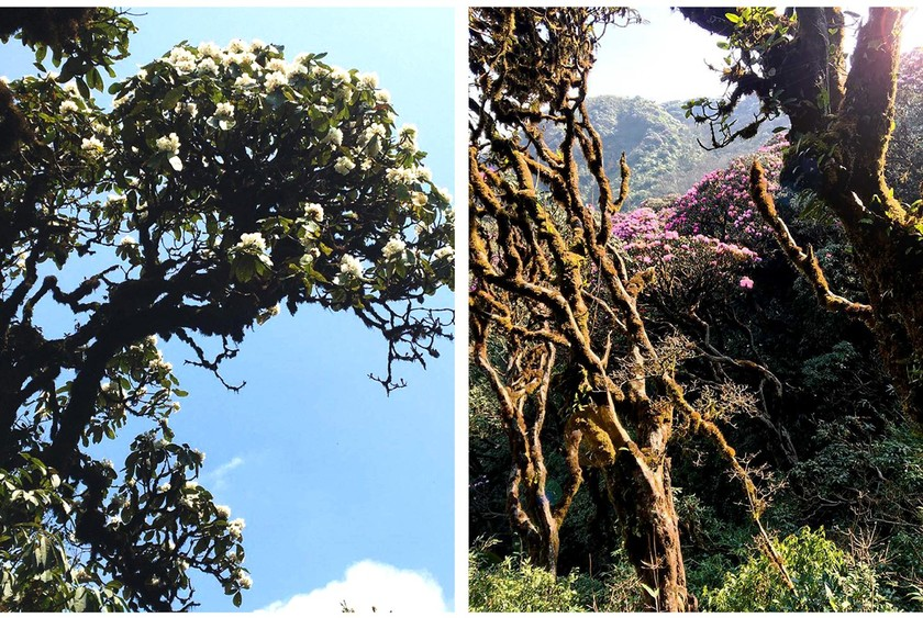 Brilliant blooming Rhododendron simsii in Fansipan  ảnh 8