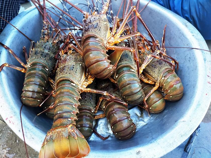 Lobster catchers earn big money in Central Vietnam ảnh 12