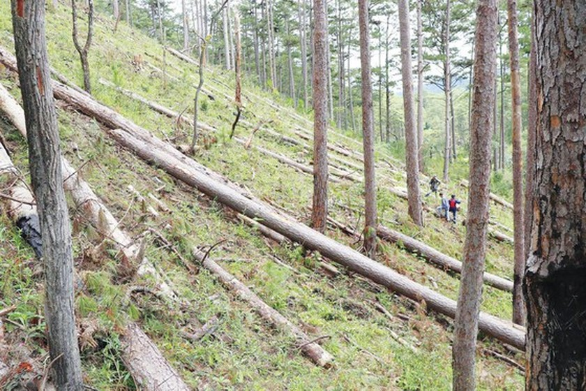 Forests cut down for agricultural purpose in Central Highlands, Central region ảnh 1