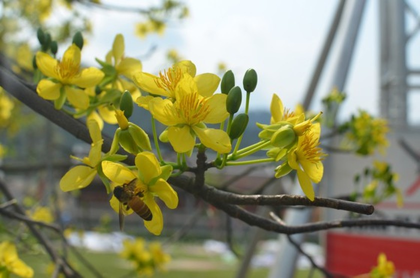 Ancient yellow ochna blossoms adorn Yen Tu peak ảnh 2