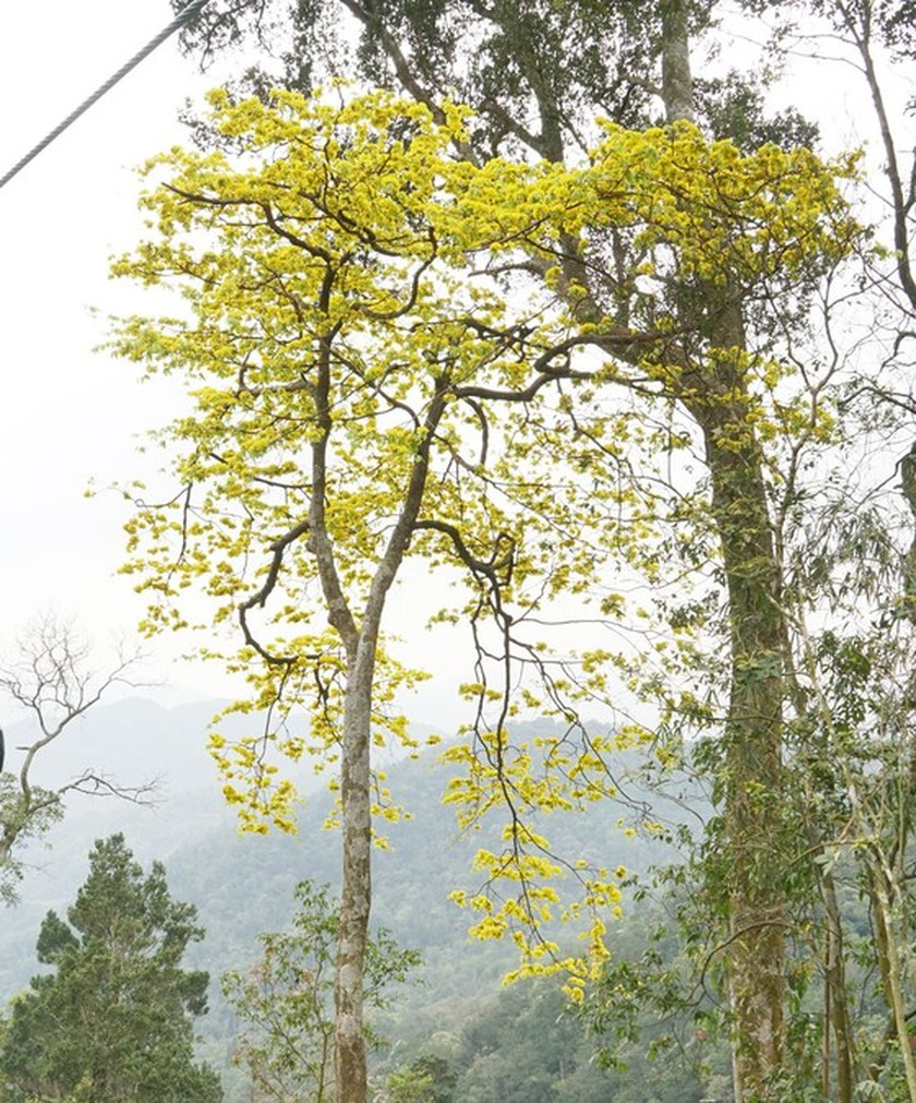 Ancient yellow ochna blossoms adorn Yen Tu peak ảnh 3