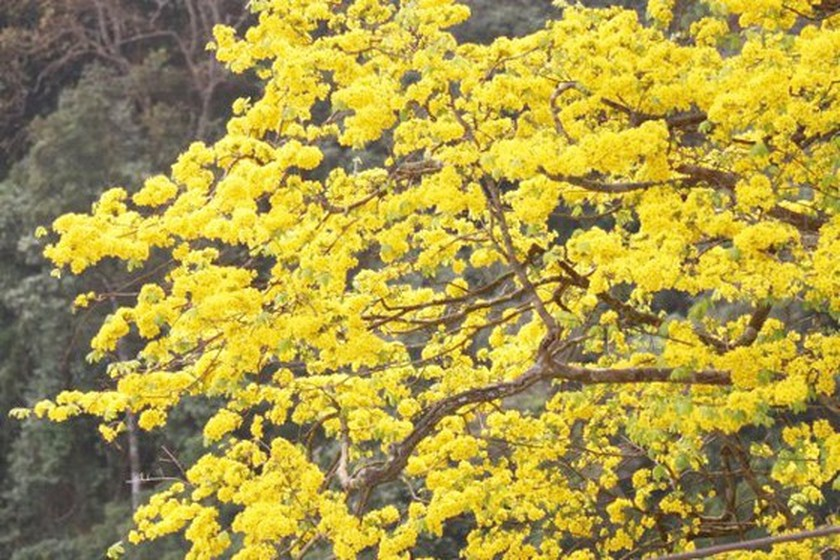 Ancient yellow ochna blossoms adorn Yen Tu peak ảnh 4