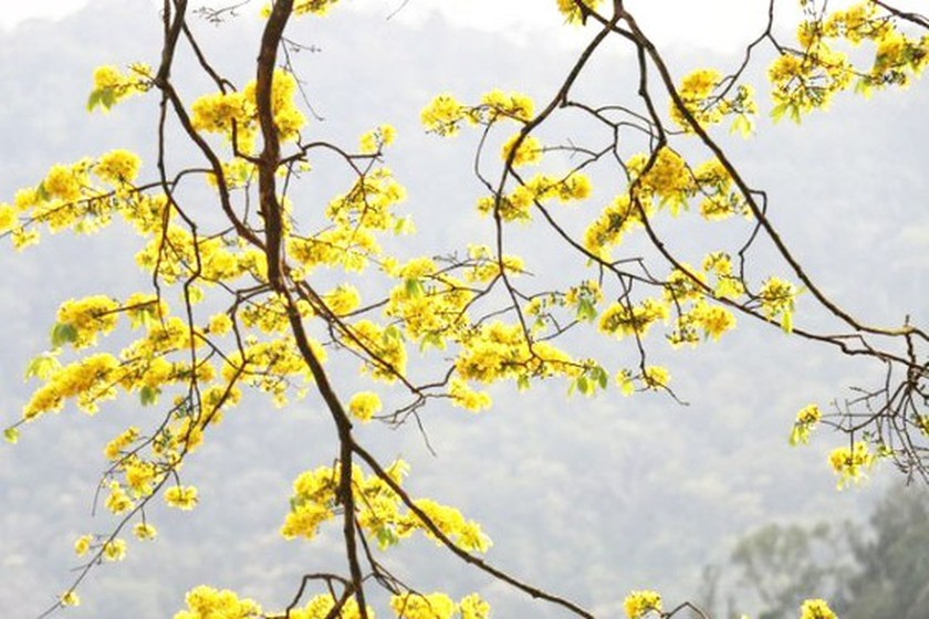 Ancient yellow ochna blossoms adorn Yen Tu peak ảnh 5