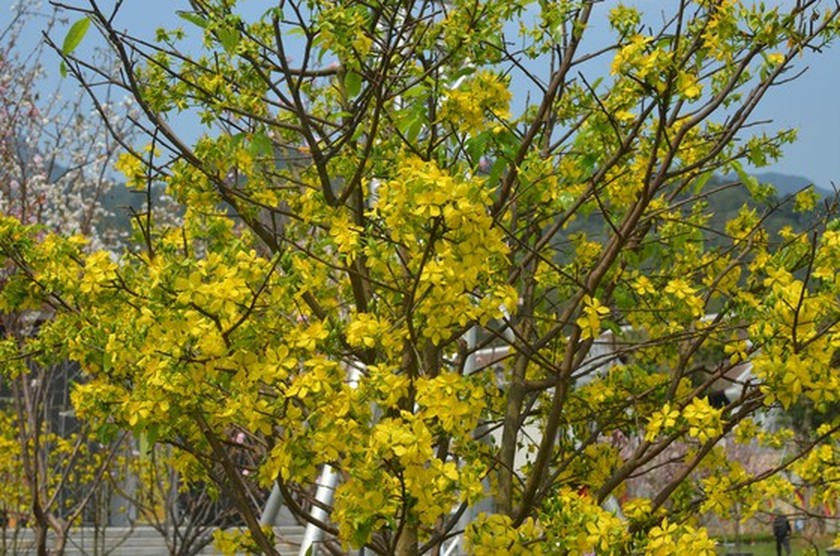 Ancient yellow ochna blossoms adorn Yen Tu peak ảnh 6