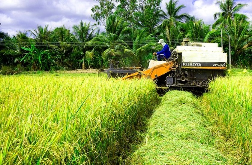 Rice farmers enjoy bumper harvest, high prices in Mekong Delta ảnh 1