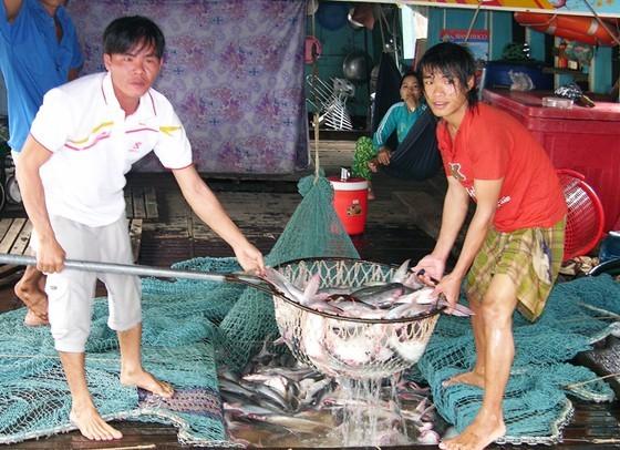 Pangasius fish prices plummet, farmers suffer huge losses ảnh 1