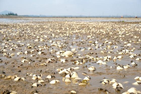 Mass shellfish kill causes farmers to suffer huge losses ảnh 4