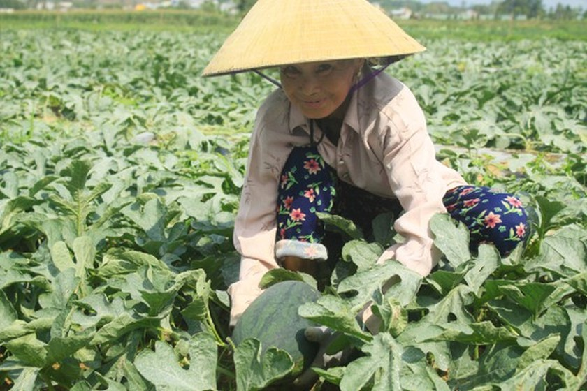 Price of watermelons increases to VND4,000 per kilogram in Quang Ngai Province ảnh 1