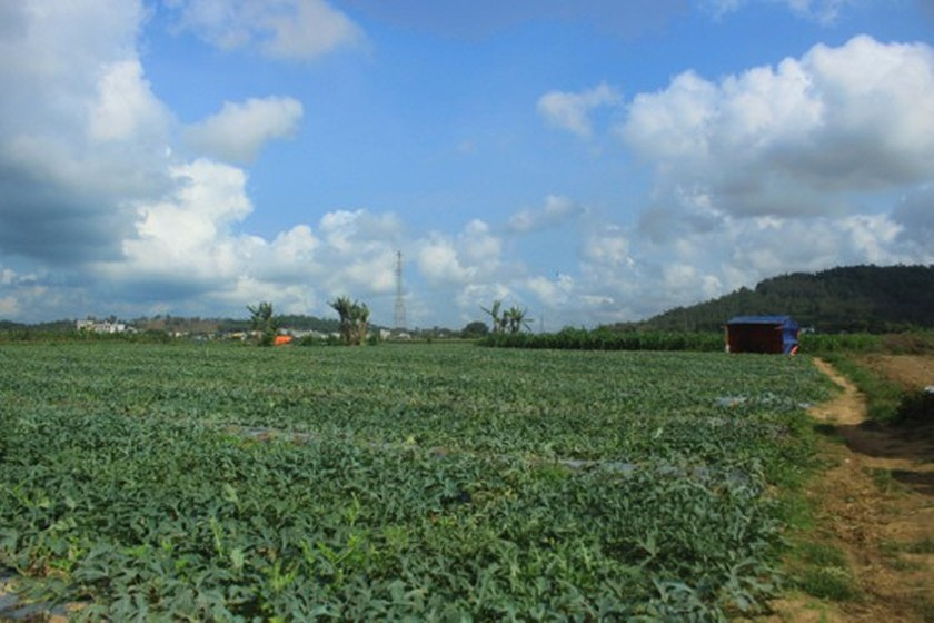 Price of watermelons increases to VND4,000 per kilogram in Quang Ngai Province ảnh 3