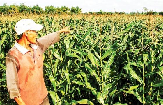 Farmers in Central provinces enjoy good harvest of vegetables ảnh 1