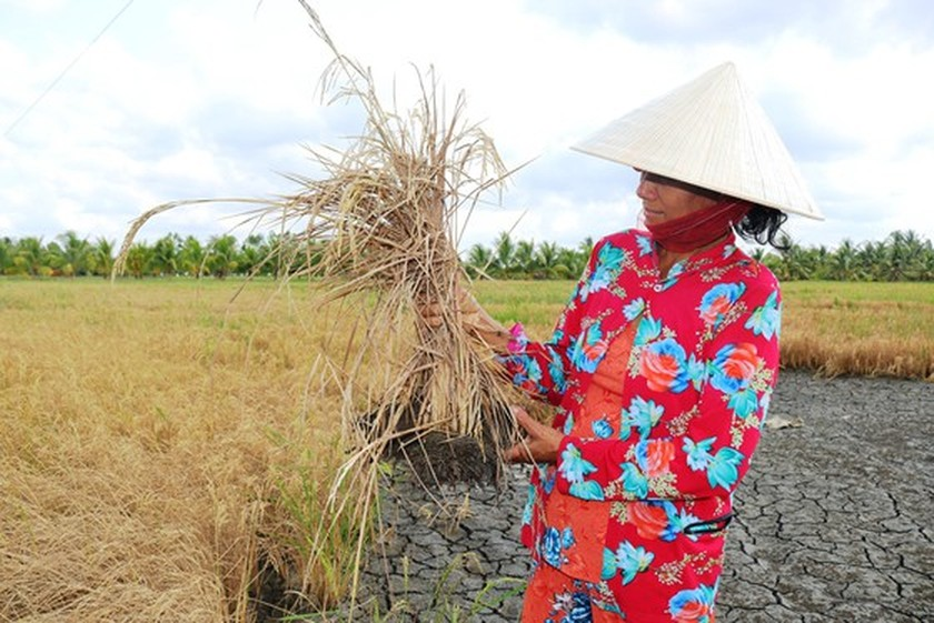 Winter-spring rice production exceeds 10.7 million tons in Mekong Delta ảnh 1