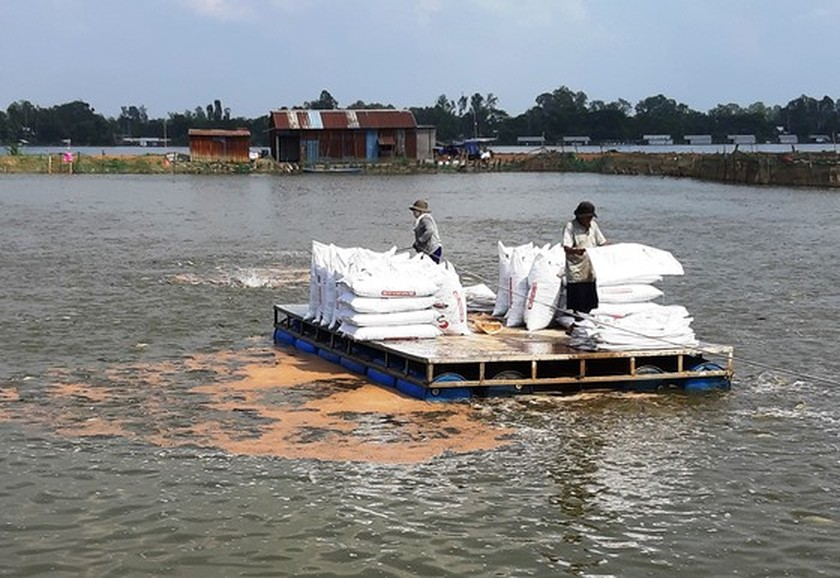 Low pangasius prices cause heavy losses for farmers in Mekong Delta ảnh 1