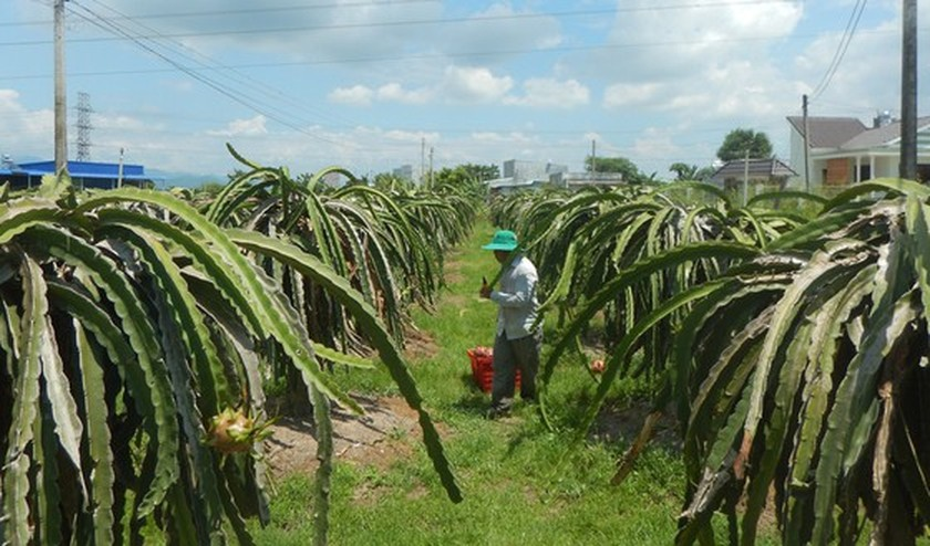 Unexpected increase in dragon fruit prices concerns farmers  ảnh 1