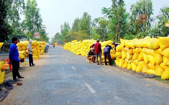 Mekong Delta farmers put effort into elevating Vietnamese rice ảnh 1