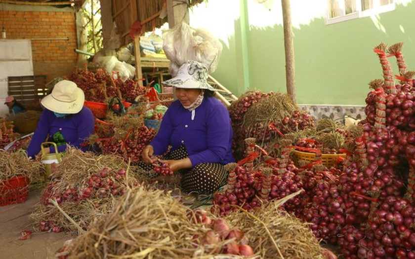 Farmers struggle as shallots devalue to record low  ảnh 2