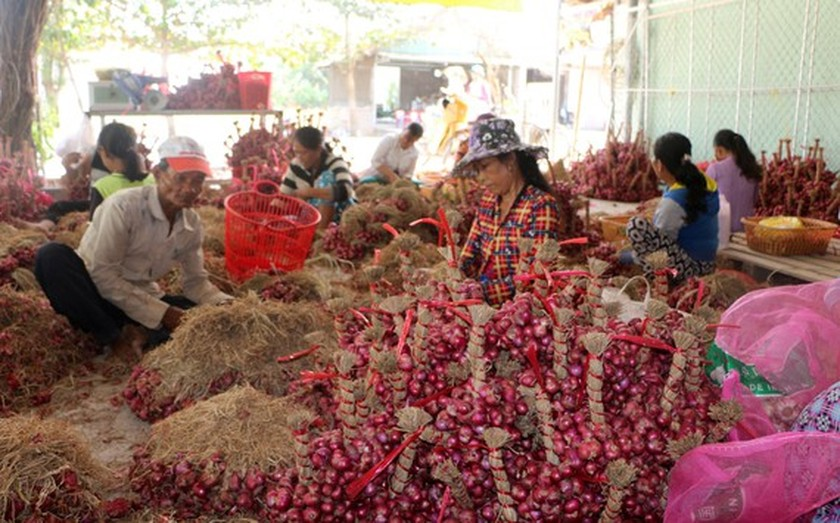Farmers struggle as shallots devalue to record low  ảnh 1