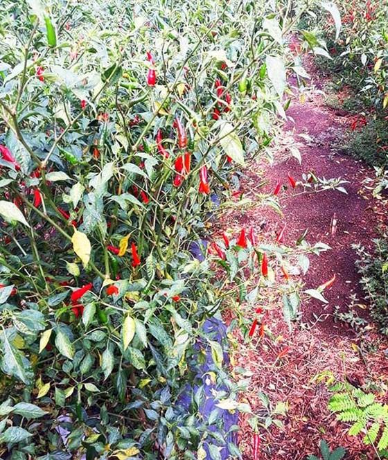 Chili price sinks heavily, farmers forsake harvesting ảnh 1