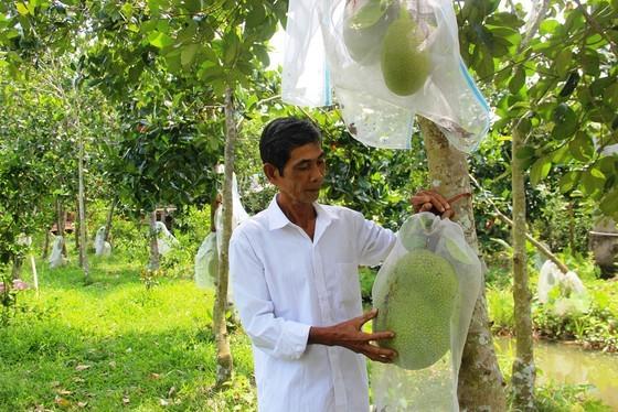 Farmers suffer losses as fruit prices plummet ảnh 3