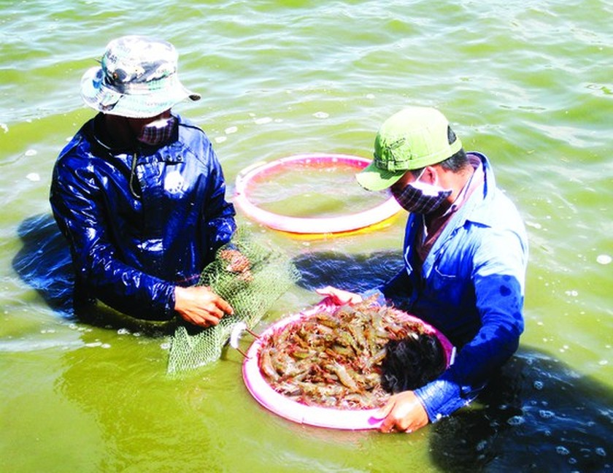 Mekong Delta posts positive results in shrimp exports ảnh 2