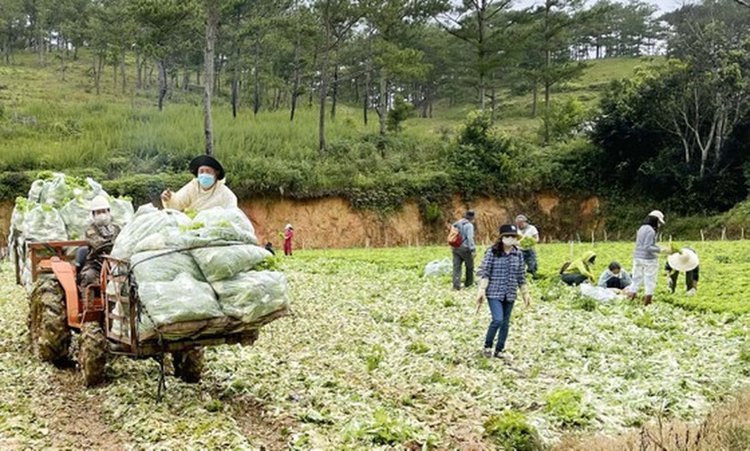 Zero-dong vegetables massively flock to HCMC from Da Lat ảnh 1