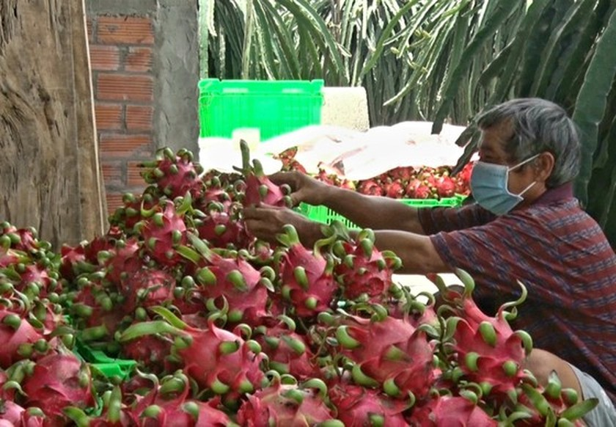 Long An Province facilitates consumption of 15,000 tons of dragon fruits ảnh 1