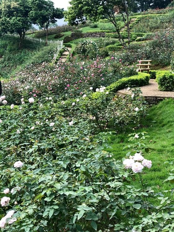 Paragon Resort Bavi recognized for largest rose garden ảnh 2