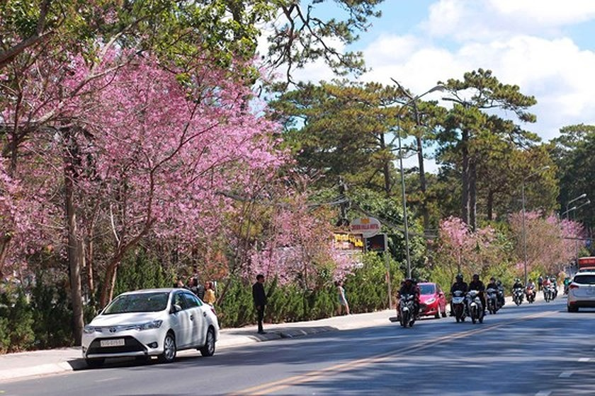 1,000 cherry blossom trees planted on Langbiang mountain ảnh 2